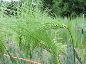 Sumire Mochi Barley