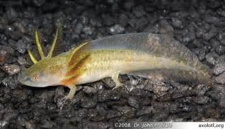 Axolotl Tiger Salamander