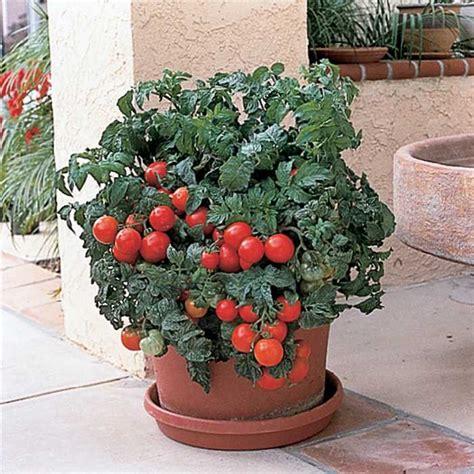 patio tomato planter patio hybrid tomato totally tomato