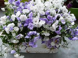 Plantes Et Fleurs Pour Balcon : jardini re de campanules hors saison mais si mignonne ~ Premium-room.com Idées de Décoration