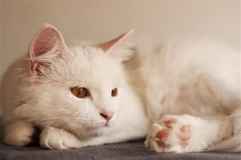 what type of cat sheds the least 8 cat breeds that shed the least
