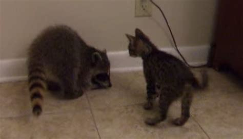 bff wrestling match kitten  baby raccoon cats  cancer