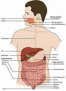 24 1  Anatomy And Normal Microbiota Of The Digestive