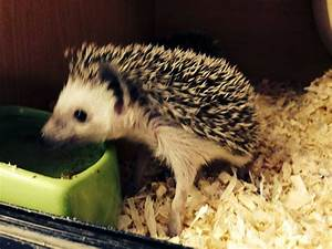 Baby African Pygmy Hedgehog! | Manchester, Greater ...