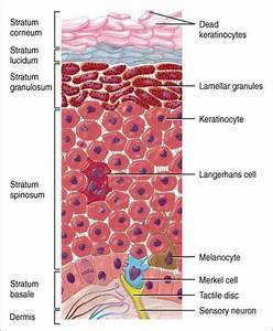 Layers Of Skin     C L G S B     Note  Basal Layer Is Also