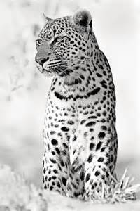 Black and White Photography Leopard