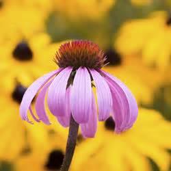 Sonnenhut Pflanze Kaufen : sonnenhut pflanzen pflege und tipps mein sch ner garten ~ Buech-reservation.com Haus und Dekorationen