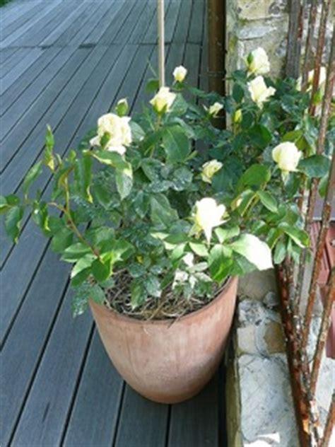 roses miniatures sur balcons et terrasses
