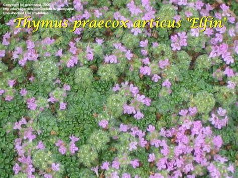 Elfin Thyme, Creeping Thyme 'elfin