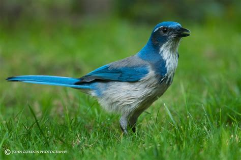 john gordon listening to birds western scrub jay at home