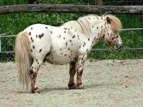 shetland pony horse breeds riding beginners ponies adults ride originating suitable islands starting practice both children these they