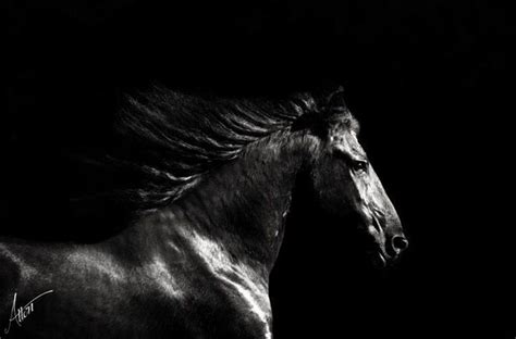black fresian horse wallpapers frison noir blanc