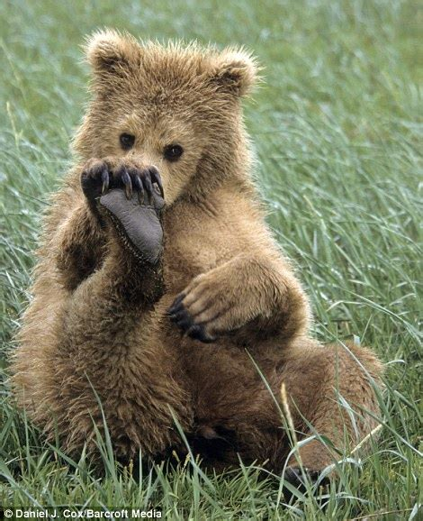 brown bear cubs copying wrestling adults daily mail