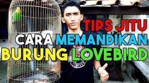 tips memandikan lovebird  memandikan lovebird