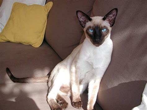 Shukernature Tales Of A Tail  Legends Of The Siamese Cat