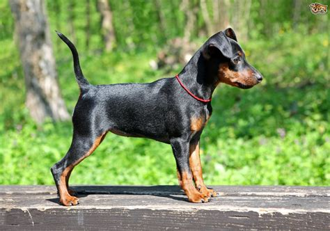 miniature pinscher dog breed information buying advice