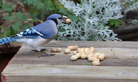 top feeders blue jays