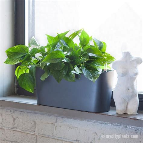 Plants In Windowsill by Pothos Plant Potted In Charcoal Windowsill Planters My