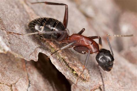 carpenter ants carpenter ant facts carpenter ant control terro 174