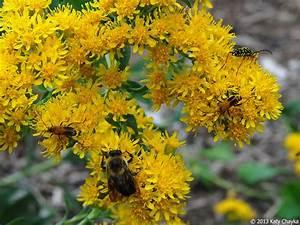 solidago rigida stiff goldenrod minnesota wildflowers