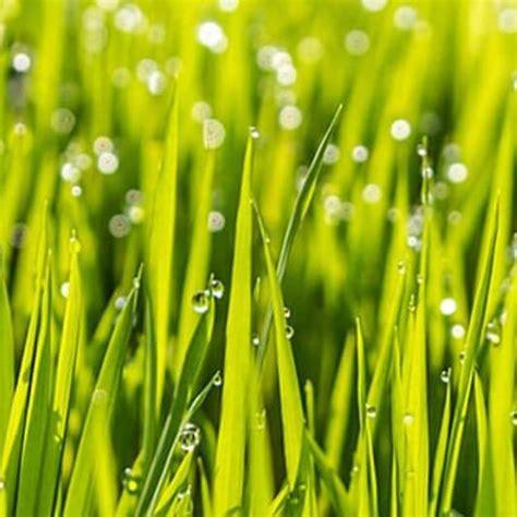 Wann Geht Rasensamen Auf by Wie Lange D 252 Rfen Rasensamen Nicht Betreten Werden