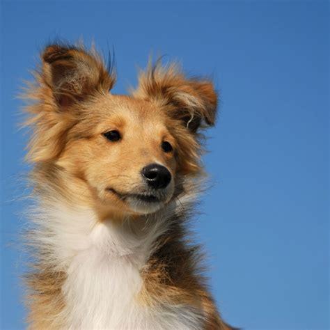 shetland sheepdog puppy shetland sheepdog breed information