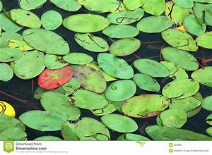 Lily Pad Background Stock Image  Image Of Lotus  Summer