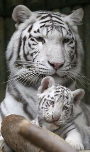 Informed Creativity: Rare White Tigers