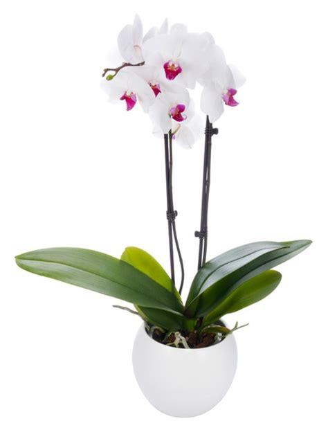 methode pour couper une tige marron jaune entretien orchidee