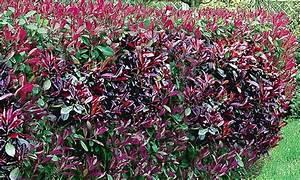 Pflanzen Immergrün Winterhart : 12 pflanzen photinia hecke groupon ~ Markanthonyermac.com Haus und Dekorationen
