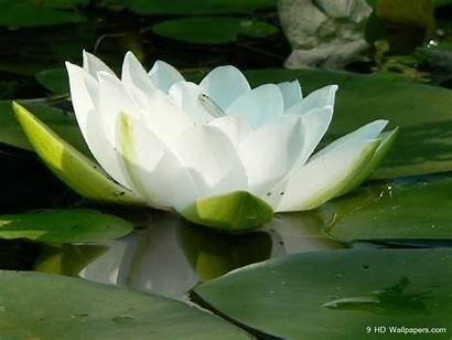 Lotus Flower Wallpapers Flowers Yoga Desktop Backgrounds
