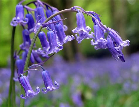 Bluebell Fragrance Oil Purple Flame