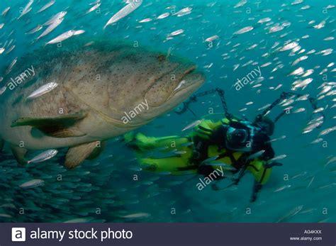 grouper goliath itajara diver scuba epinephelus during alamy spawning aggregation jupiter