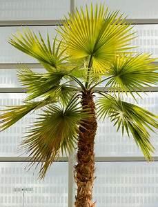 Comment Reconnaitre Un Hibiscus D Intérieur Ou D Extérieur : palmier chanvre trachycarpus fortunei entretien ~ Dallasstarsshop.com Idées de Décoration