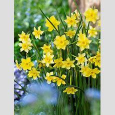 Daffodil New Baby  Bluestone Perennials