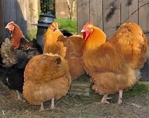 Comment Elever Des Poules : les maladies les plus fr quentes chez les poules pondeuses ~ Melissatoandfro.com Idées de Décoration