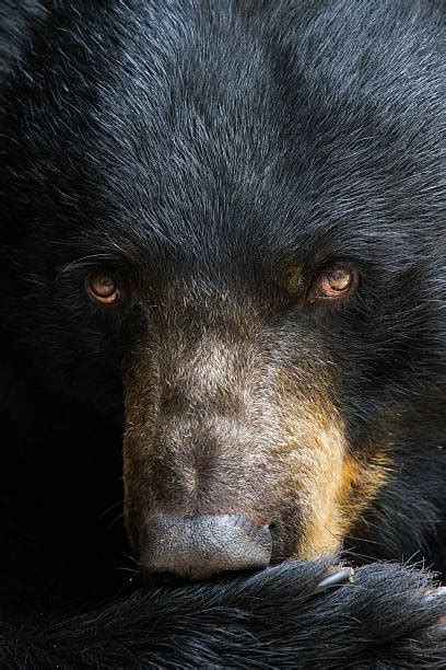 bear eyes stock  pictures royalty  images
