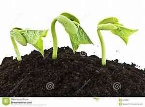 Bean Seeds Germinating Shot Stock Photos