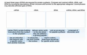 Solved  At Least Three Types Of Rna Are Required For Prote