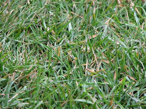 what type of grass is sod file allianz arena closeup on grass jpg wikimedia commons