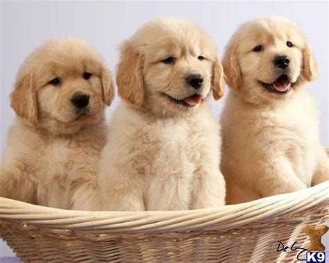 simply golden puppies images  pinterest