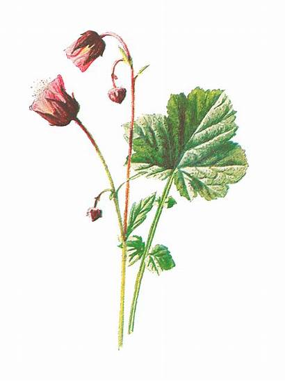 Flower Wildflower Illustration Digital Botanical Clip Antique