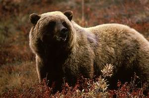 Grizzly bear - Wikipedia  Grizzly