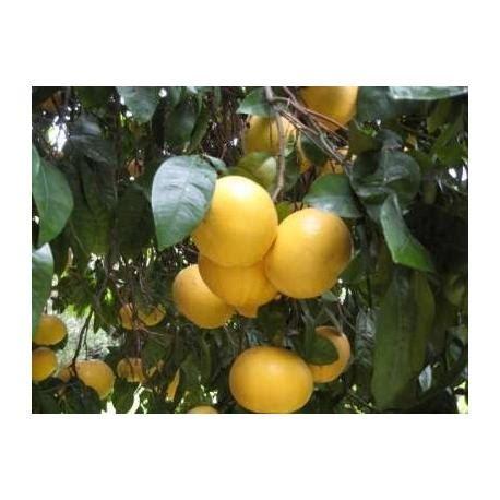 pamplemousses jaunes biologiques  kg pamplemousses bio
