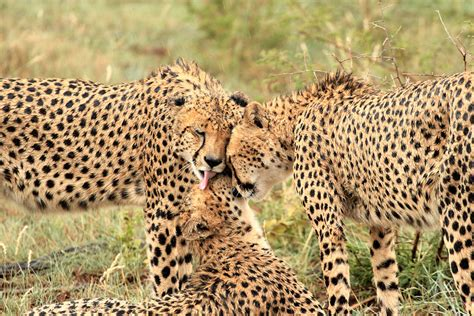 Marvelously Staggering Facts About The Cheetah