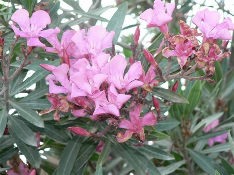 flower shrubs file pink flower bush jpg wikimedia commons