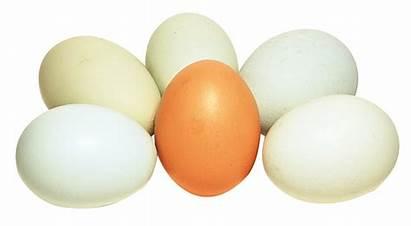 Eggs Transparent Easter Pngpix Egg Hen Organic