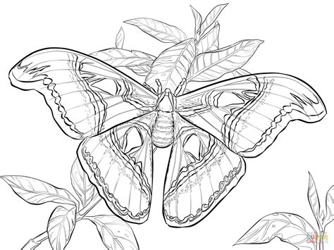 realistic atlas moth coloring page free printable coloring pages