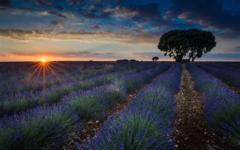 Sunset Fields With Lavender Brihuega Guadalajara Province