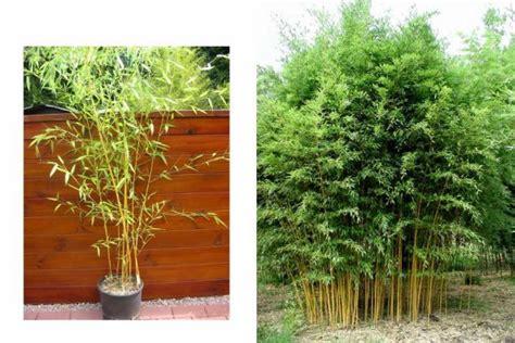le jardin les bambous le phyllostachys aureosulcata